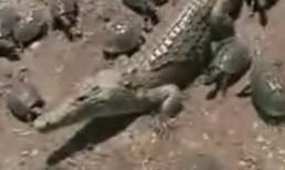 Cá sấu 'bất lực' trước đàn ba ba