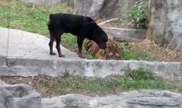 Chó liều lĩnh tranh thức ăn của hổ