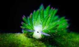 Loài sinh vật phát sáng 'nhìn là yêu' ẩn mình dưới biển