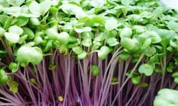 Khám phá những lợi ích của rau mầm đối với sức khỏe