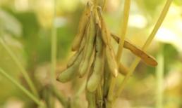 Vinasoy khẳng định sử dụng 100% đậu nành không biến đổi gien