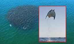 Cá bay như chim kỳ lạ trên mặt biển