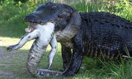 Khoảnh khắc cá sấu dài gần 4m khổng lồ ăn thịt đồng loại
