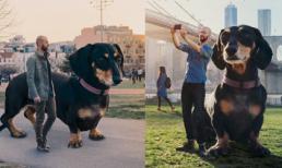 Sự thật ngỡ ngàng về chú chó Dachshund khổng lồ