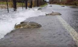 Cá hồi ngược dòng bơi đầy trên đường kỳ lạ ở Mỹ