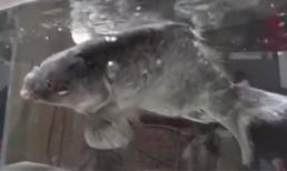 Cá chép đóng băng 'hồi sinh' khi cho vào nước ấm