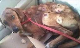 Chú chó nằm chờ chết với vô số khối u chi chít trên người được hồi sinh thần kỳ