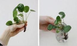Nên trồng cây này trong nhà: mang lại sức khỏe và tiền tài không ngờ