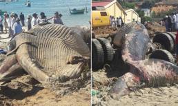 Phát hiện xác cá ông khổng lồ trôi dạt vào biển Phan Thiết?