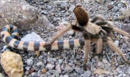 Nhện khổng lồ 'hạ sát' rắn cực độc chỉ trong chớp mắt