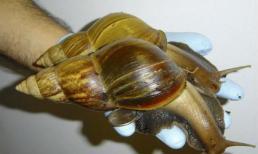Kinh ngạc loài ốc sên to như bàn tay người trưởng thành