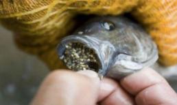 Lý do vì sao nên ngừng ăn cá rô phi càng sớm càng tốt