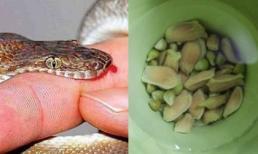 Hạt chanh có thể cứu sống người bị rắn cắn chỉ trong vòng 1 phút nếu dùng theo cách này