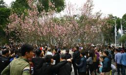 Lễ hội Hoa anh Đào 2019: 100 cây và 20.000 cành hoa anh đào sẽ khoe sắc tại Hà Nội