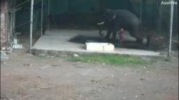 Sinh nghề tử nghiệp: Quản tượng vô tình bị voi khổng lồ ngồi đè chết trong lúc tắm