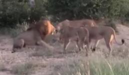 Nhăm nhe xâm phạm lãnh thổ những con cái, sư tử đực nhận cái kết bất ngờ