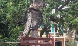 Dân mạng xót thương cho trăn khủng bị dân bắt làm thịt ở Phú Thọ
