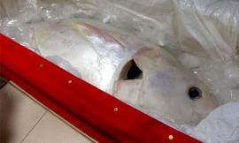 Bắt được cá ngừ 'quỷ' toàn thân màu trắng cực hiếm