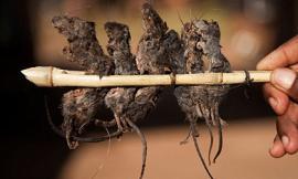 Mẹ bắt con ăn thịt chuột vào bữa sáng 'cho bổ dưỡng'