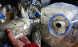 Nhốt vẹt quý hiếm vào chai nhựa để trốn hải quan