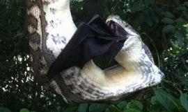 Kinh hãi phát hiện trăn lớn nuốt chửng dơi khổng lồ ngay trong vườn nhà