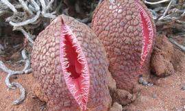 Loài hoa mang hình dáng nhạy cảm, có mùi như phân