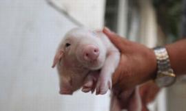 Lợn có hai đầu gây xôn xao cộng đồng