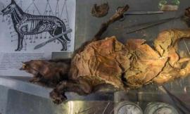 Kinh ngạc xác ướp chú chó nguyên vẹn suốt hơn 12.000 năm