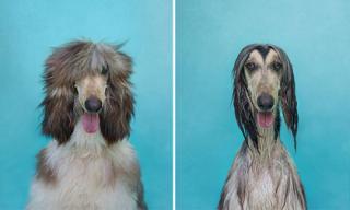 Chết cười với sự khác biệt của chó cưng trước và sau khi tắm