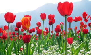 Mê mẩn trước vẻ đẹp của hoa tulip