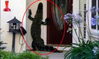 Cá sấu mò vào tận nhà dân và 'bấm chuông' cửa