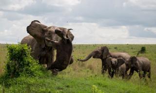 Khoảnh khắc voi lớn húc chết trâu rừng