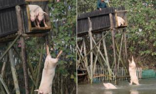Để có thịt lợn ngon... đây là cách khiến ai cũng phải tròn xoe mắt