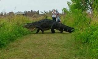 Choáng với cảnh cá sấu to như khủng long đi dạo qua đường tại Mỹ