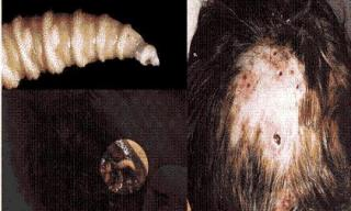 Kinh hoàng sự trở lại của loài ấu trùng đục lỗ, ăn thịt cơ thể người