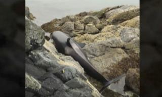 Cá voi khóc vì mắc cạn trên bãi đá và hành động của người dân khiến ai nấy đều khâm phục