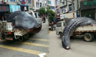 Mang cá mập voi quý hiếm diễu hành và thịt ngay trên phố