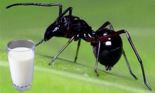 Tiết lộ độc đáo: Loài nhện nuôi con bằng sữa, giàu dinh dưỡng gấp 4 lần sữa bò, dê