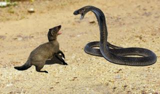 Rắn hổ mang chúa giao chiến kịch liệt với cầy mangut và cái kết bất ngờ