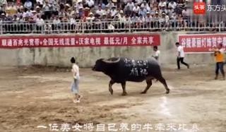 Cô gái Trung Quốc dắt trâu đi chọi bị đuổi suýt bỏ mạng