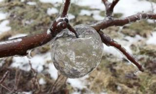 Xuất hiện những 'quả táo ma' trong suốt tuyệt đẹp vẫn treo lủng lẳng trên cây
