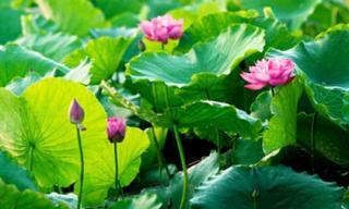 3 địa điểm ngắm sen đẹp ở Hà Nội