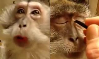 Clip trang điểm cho khỉ gây sốt cộng đồng mạng