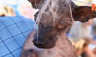 Những chú chó xấu xí nhất thế giới