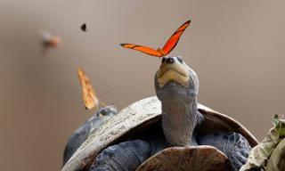 Cận cảnh đàn bướm uống nước mắt rùa để giải khát