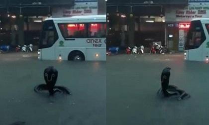 Sự thật về con rắn hổ mang chúa xuất hiện ở Nha Trang gây kinh hãi