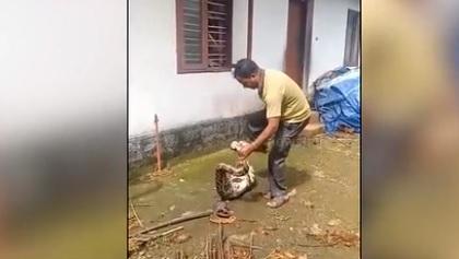 Người đàn ông Ấn Độ tay không bắt trăn lấy lại gà đã nuốt