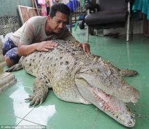 Cá sấu nặng 200kg được cả gia đình chăm sóc, vuốt ve như thú cưng