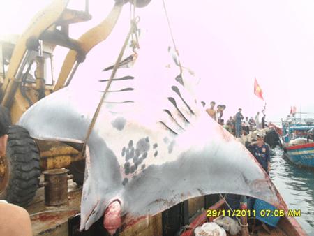 cá nặng,cá nặng,cá đuối,lý sơn,quãng ngải,ngư dân,chủ tàu