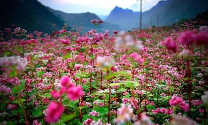 Lễ hội hoa tam giác mạch, Lễ hội hoa tam giác mạch lần 2, Hà Giang, hoa tam giác mạch, ngắm hoa tam giác mạch, giới trẻ